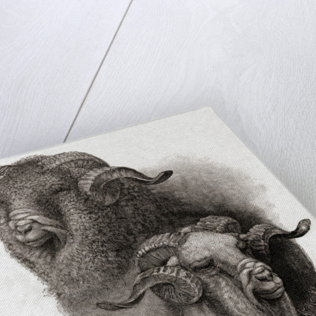 Head of Merino ram compared before and after shearing by Robert Antoine Muller