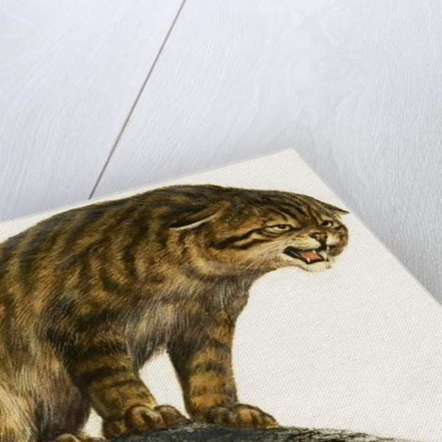Wildcat by English School
