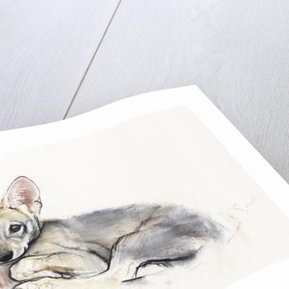Curled Arabian Wolf Pup by Mark Adlington
