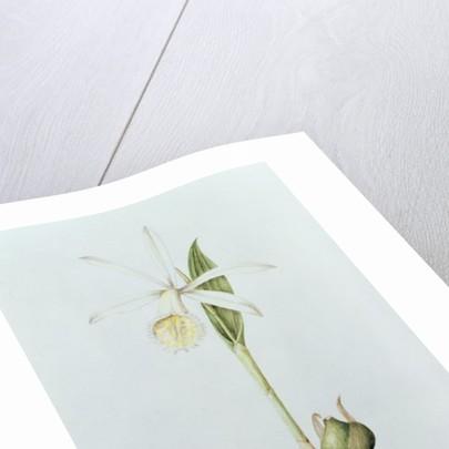 Pleione Formosana Alba by Mary Kenyon-Slaney