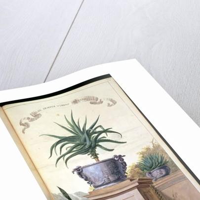 Aloe Semper Virens or Vera, page 306 from 'Flora Exotica' 1720 by Johanne Godfredo Simula