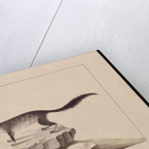 Page 10. Tapoa Tafa. Now known as a Brush-tailed Phascogale, c.1789-90 by Sarah Stone