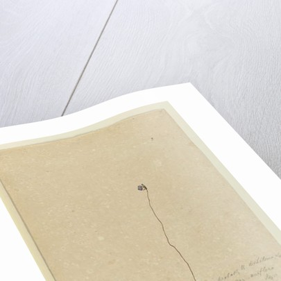 Page 2. Utricularia dichotoma, c.1803-06 by John William Lewin
