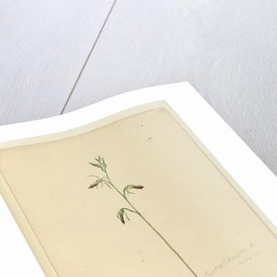 Page 137. Cryptostylis longifolia, c.1803-06 by John William Lewin