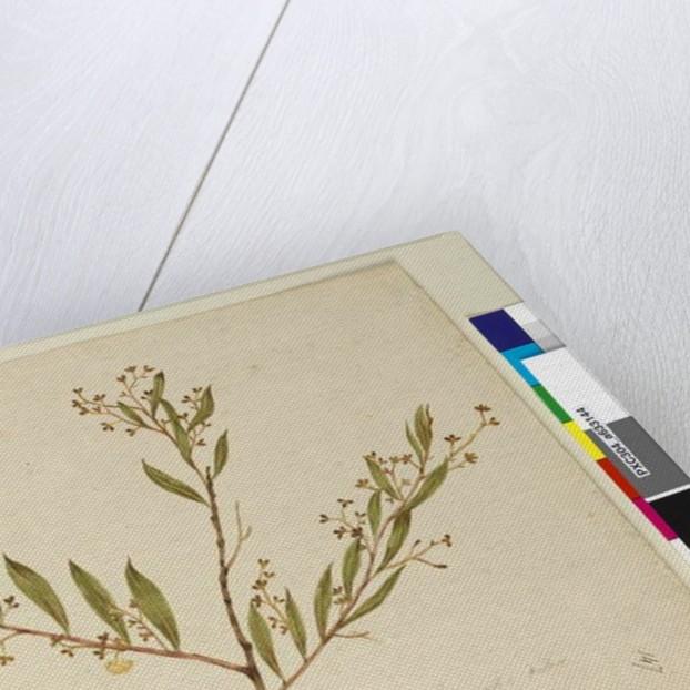 Page 147. Acacia myrtifolia, c.1803-06 by John William Lewin