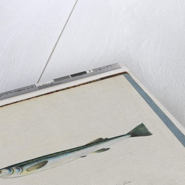 Page 27. Unidentified fish by Unknown artist