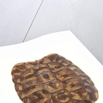 Tortoise Shell by Rachel Pedder-Smith