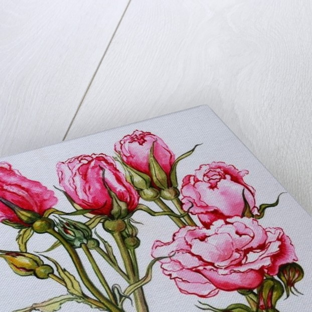 Rose, Queen Elizabeth by Joan Thewsey
