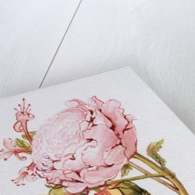 Pink Rose, Abraham Derby with Honeysuckle by Joan Thewsey
