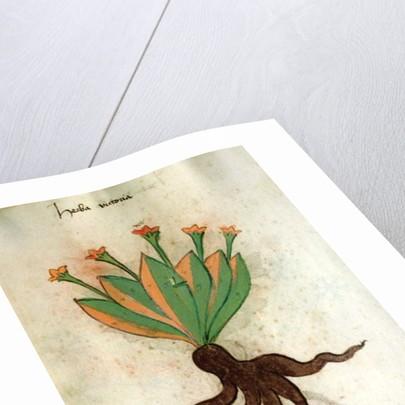 Herba Victoria by Italian School