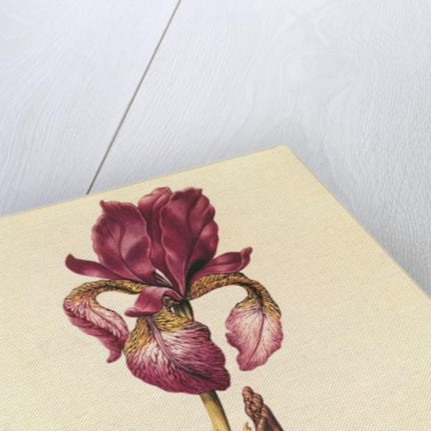 Iris by Nicolas Robert