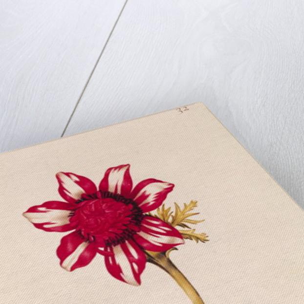 Anemone by Nicolas Robert