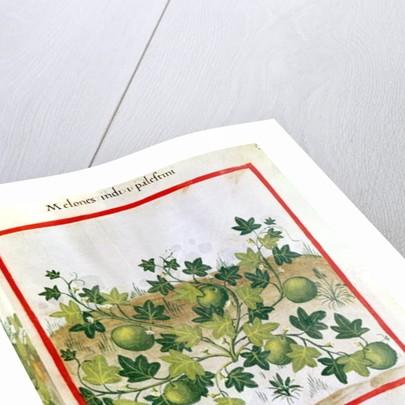 Ms 3054 fol.20 Melons by Italian School