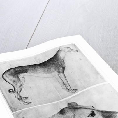 Greyhound and head of a greyhound by Antonio Pisanello
