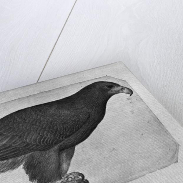 Hawk by Antonio Pisanello