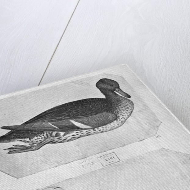 Ducks by Antonio Pisanello
