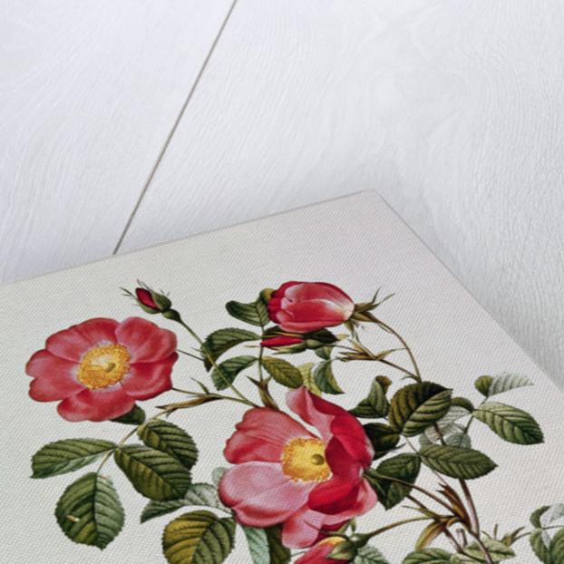 Les Roses de Thory. Rosa Pumilia by Pierre Joseph Redoute