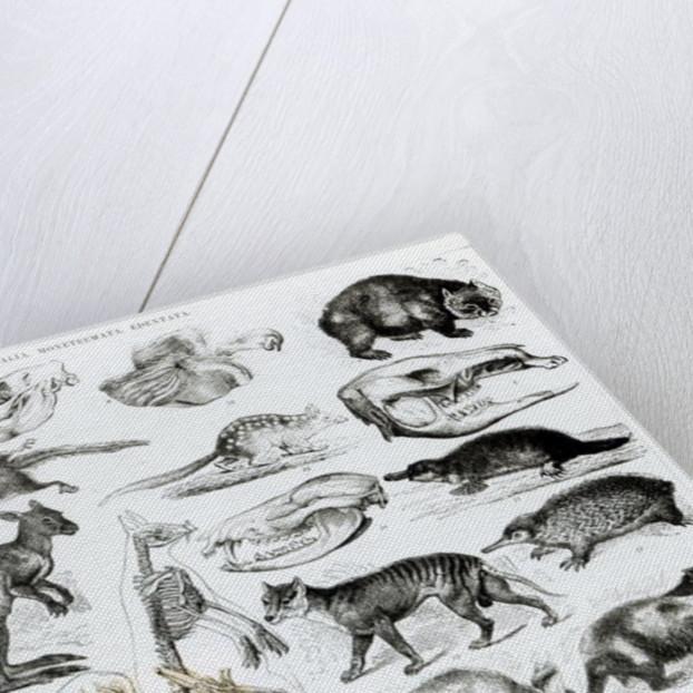 Marsupialia, Monetremata, Edentata by English School