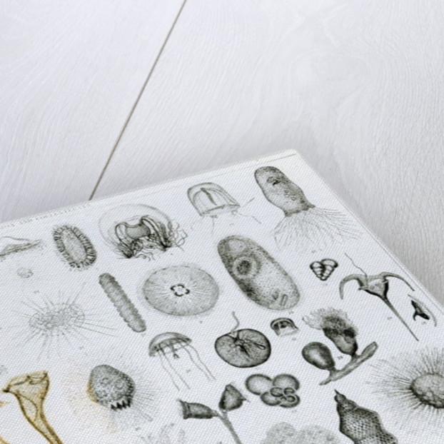 Protozoa and Coelenterata by English School