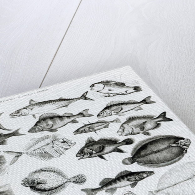 Ichthyology Osseous Fishes by English School