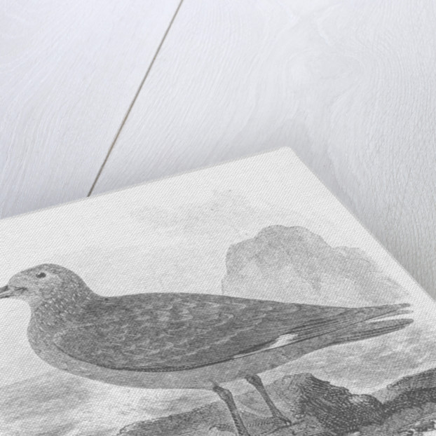The Common Skua by William Yarrell