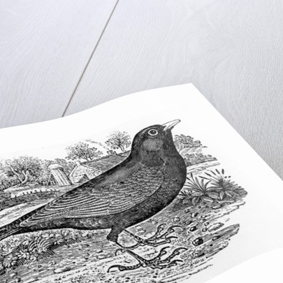 The Blackbird by Thomas Bewick