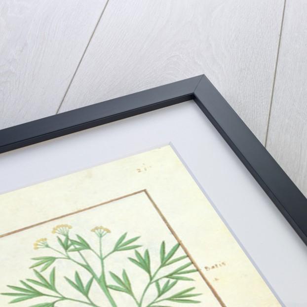 Euphorbia Lathyris, Beechwort, Mint and Fig by Robinet Testard