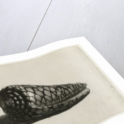 The Shell (Conus marmoreus) by Rembrandt Harmensz. van Rijn
