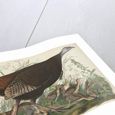 Great American Hen and Young by John James Audubon