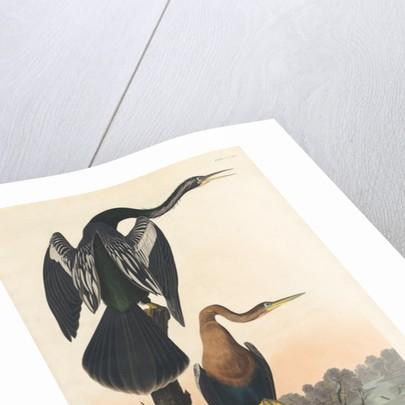 Black-bellied Darter by John James Audubon