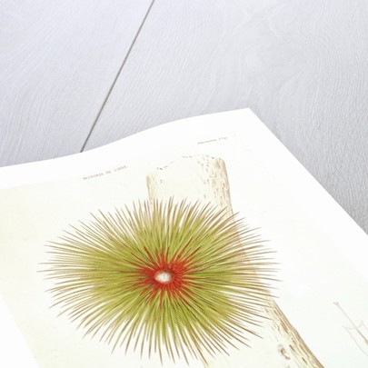 A Bromelia found in the Andes by French School