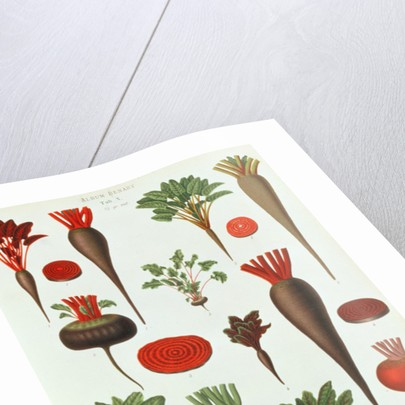 Beetroot by Ernst Benary