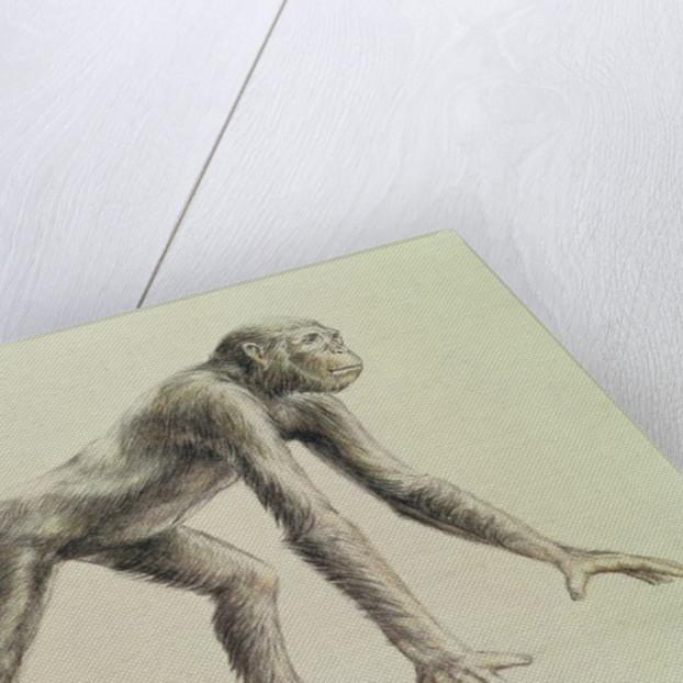 Dryopithecus Africanus by English School