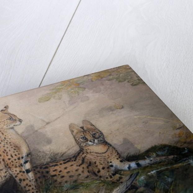 Serval, 1851-1869 by Joseph Wolf