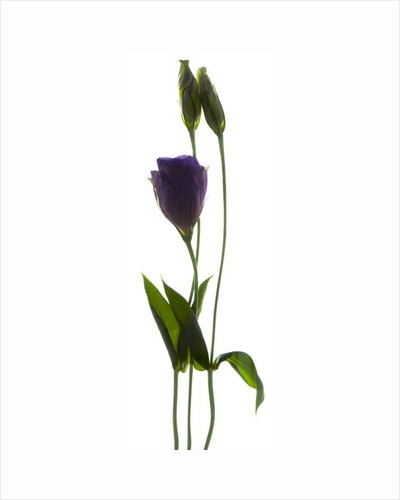 Lisianthus Duo by Julia McLemore