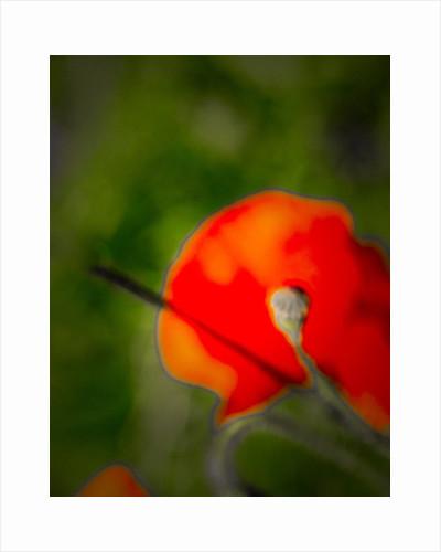 Single Poppy by Alice Gur-Arie