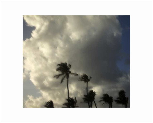 Palm Trees in wind by Pat swain