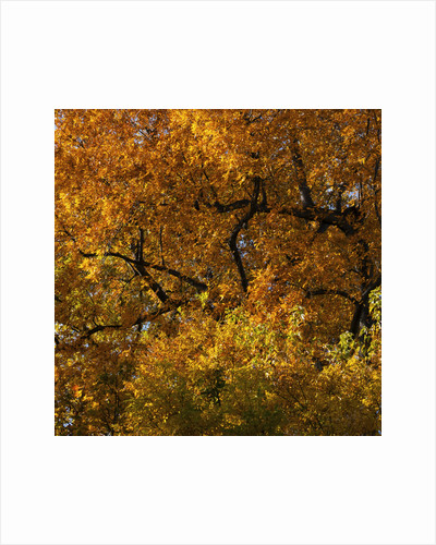 Golden Autumn Leaves by Pat Swain