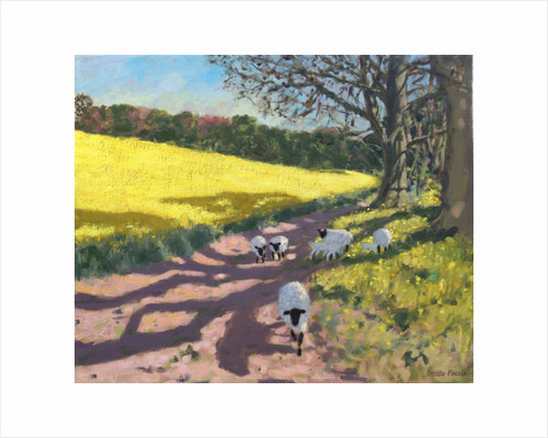 Sheep and yellow field, Radbourne, Derby, 2017 by Andrew Macara