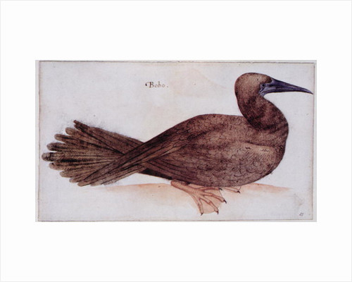 Brown Booby by John White