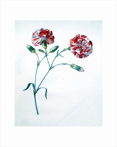 Carnation by Georg Dionysius Ehret