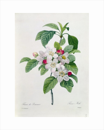 Apple Blossom by Pierre Joseph Redoute