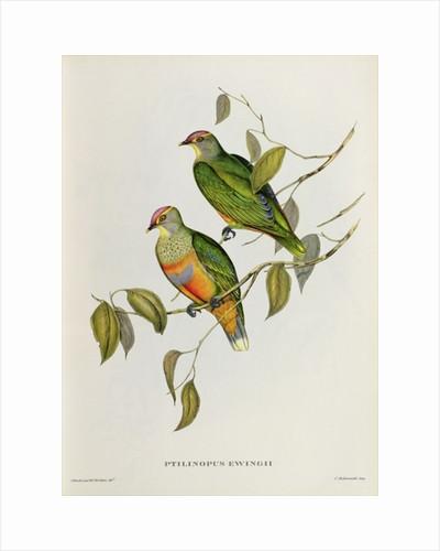 Ptilinopus Ewingii by John Gould