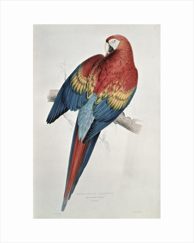 Red and Yellow Macaw by Edward Lear