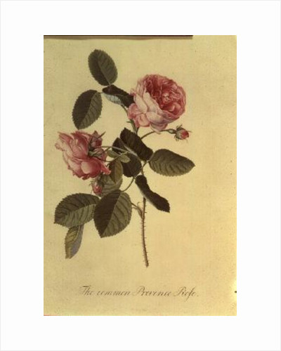 The Common Provence Rose by Georg Dionysius Ehret
