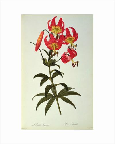 Lilium Superbum by Pierre Joseph Redoute