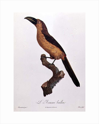 Baillon's Aracari by Jacques Barraband