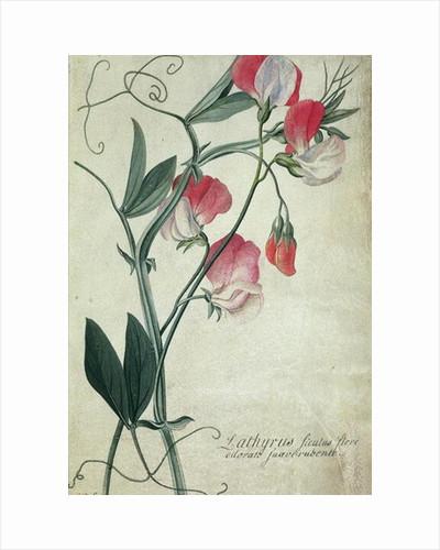 Lathyrus Siculus Flore by Georg Dionysius Ehret