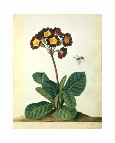 Primulaecae: a Flowering Polyanthus with a Flying Insect by Georg Dionysius Ehret