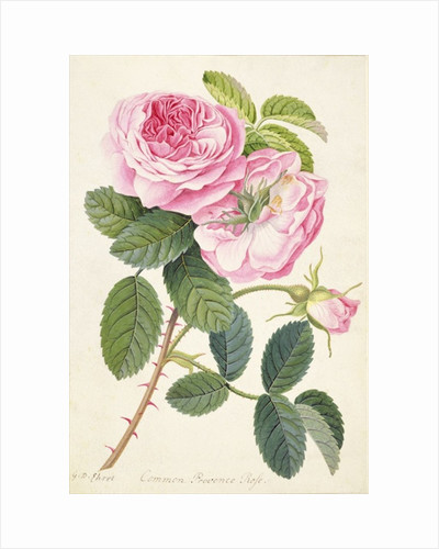 Common Provence Rose by Georg Dionysius Ehret